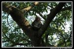 Macaque Looks Down On Photographer From Fork In Tree animaux provenant de Macaque