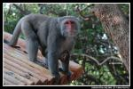 Macaque Baby With Bright Little Eyes Clings to Alert Mommy animaux provenant de Macaque
