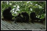 A Whole Bunch of Macaques Milling Around On Corrugated Metal Roof animaux provenant de Macaque