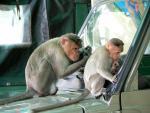 Large and Small Macaques Take Interest in Automobile Windshield animaux de                   Caralyn50 provenant de Macaque