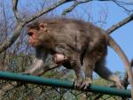 Tiny Baby Macaque Clings To Front Of Mother Walking On Chain Link Fence animaux provenant de Macaque