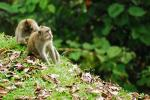 One Macaque Picks Bugs On Another's Back on Bali Hillside animaux provenant de Macaque
