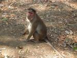 Macaque On Ground Near Mumbai, India animaux provenant de Macaque