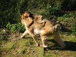 Cool!  Mommy Macaque Walks On Four Legs With Riding Baby animaux provenant de Macaque
