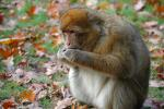 Fluffy Macaque Eats On Lawn With Fallen Oak Leaves animaux provenant de Macaque