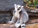 This Ring-Tailed Lemur Looks Unamused animaux provenant de Lémurien