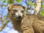 Beautiful Golden Crowned Lemur With Sweet Face animaux provenant de Lémurien