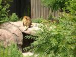 Lion Sits In Enclosure Infested With Ailanthus altissima animaux provenant de Lion