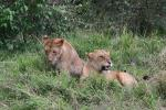 Two Female Lioneses Sit Closely Together animaux provenant de Lion