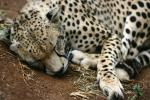 Sleeping Cheetah animaux provenant de Gu�pard