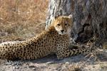 Cheetah By Tree animaux provenant de Gu�pard