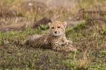 Baby Cheetah! animaux provenant de Guépard