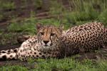 Cheetah With Excellent Spots animaux provenant de Guépard