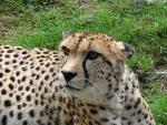 Cheetah Looking Somehwat Offended animaux provenant de Gu�pard