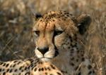 Beautiful Cheetah Close-Up animaux provenant de Guépard