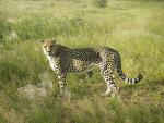 Determined-Looking Cheetah in the Grass animaux provenant de Gu�pard
