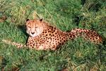 Wary Cheetah In the Sun animaux provenant de Gu�pard