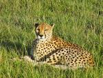 Cheetah With Lovely Eyes animaux provenant de Gu�pard