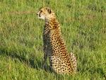 Attentive Cheetah animaux provenant de Gu�pard