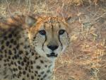 Cheetah Waiting To Be Fed animaux provenant de Gu�pard