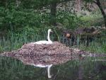 Poland: Mute Swan Sits In Absolutely Huge Nest animaux provenant de Cygne