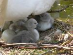 Cute! Baby Cygnets Huddle Under Mommy Swan animaux provenant de Cygne
