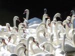 High-Contrast Picture: Many White Swans Swimming In Glasgow Pond animaux provenant de Cygne