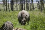 Wild Rhinoceros With Zebras in Weeds Near Hedgerow and Water animaux provenant de Rhinoc�ros