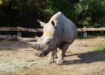 Slightly Diagonal View of Rhino With Nice Face animaux provenant de Rhinoc�ros