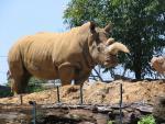 Looking Up At Sandy Rhinoceros With Curved Horn animaux de                   Elana48 provenant de Rhinocéros