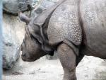 Close View Of Rhinoceros Front End With Head Turned Away animaux provenant de Rhinoc�ros