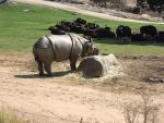 Rhinoceros Shares Enclosure With Herd of Wild Bovids animaux provenant de Rhinoc�ros