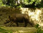 Rare Sumatran Rhinocerous animaux de                   Elayne3 provenant de Rhinocéros