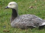 Emperor Goose With Distinctive White Head Sits On Short Grass animaux de                   Abélia68 provenant de Oie