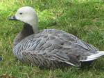 Emperor Goose Sits In London Park And Shows Off Fine Feathers animaux provenant de Oie