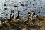 Greylag Geese Gather On Edge Of European Pond On Bright Day animaux provenant de Oie