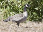 Cackling Goose,  Seen In Morro Bay CA can be Mistaken For A Canada Goose animaux provenant de Oie