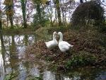 Pair Of White Geese Touch Noses On Picturesque Pond animaux provenant de Oie