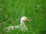 Tired-Look Goose Takes A Rest In Tall Grass With Buttercups animaux provenant de Oie