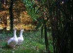 Pair Of DomesticWhite Geese Stands Near Patch Of Bamboo animaux provenant de Oie