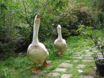 Spoiled Pair Of Geese Walk Towards Photographer On Webbed Orange Feet animaux provenant de Oie