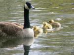 Three Yellow Goslings Float With Mama Canada Goose animaux provenant de Oie