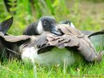 Canada Goose In Grass Wakes Up With Nose In Fluffy Feathers animaux provenant de Oie