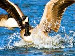 Brown Canada Goose Splashes Water With Wings Held High animaux provenant de Oie