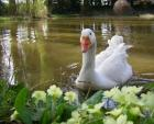 Friendly Pet Goose Approaches Primroses On Edge Of Muddy Pond animaux provenant de Oie
