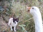 Honking Goose Confronts White And Black Cat animaux provenant de Oie