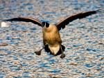 Brown Goose Approaches Water With Feet And Wings Spread Wide animaux provenant de Oie