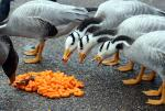 Several Geese With Striped Heads And Necks Eat Orange Cheese Doodles Off London Pavement animaux provenant de Oie
