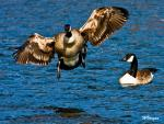 Huge Goose About To Land With Wings Held Back Over Slightly Wavy Water animaux provenant de Oie
