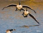 Dramatic Image Of A Pair Of Geese Landing On Water Near Glen Rock NJ animaux provenant de Oie